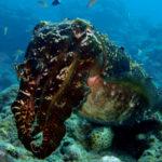 Ishigaki cuttlefish