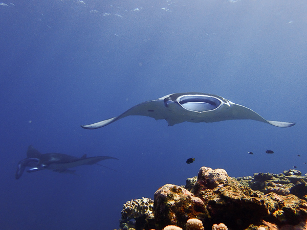 Diving with Lots of Mantas☆