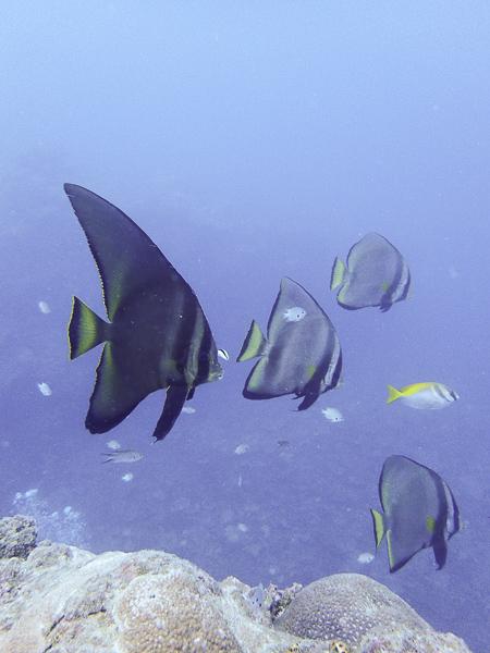 Diving with Batfish in Nagura Bay
