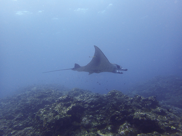 Braving the Waves for the Mantas…