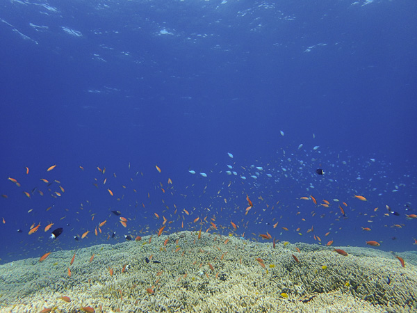 Another Day Without Manta Rays… But the Coral Reefs are Abundant with Life