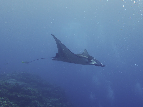 Just as We were About to Give Up – Finally a Manta Ray!