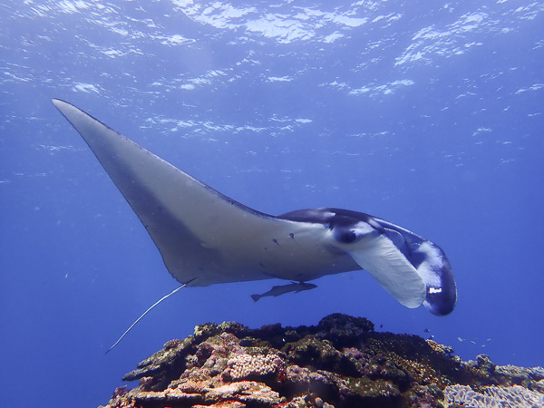 Manta Rays on Open Water Course?!