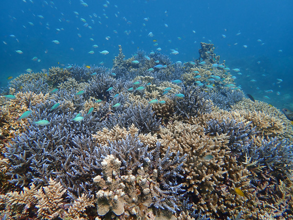 Diving Among Blue Corals☆