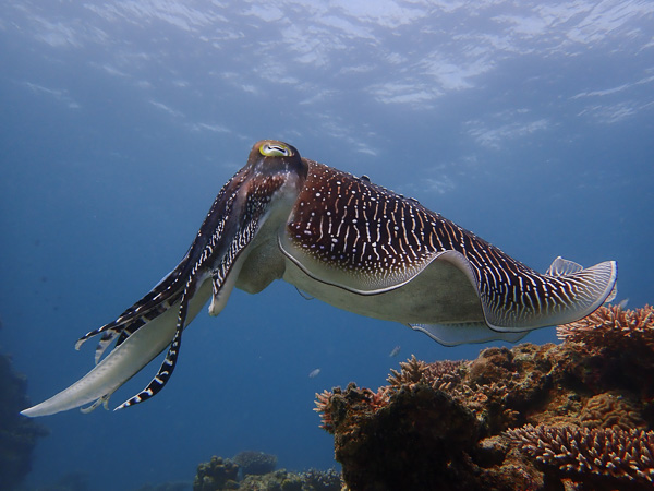 Let's Watch the Cuttlefishes in Quiet Nagura Bay