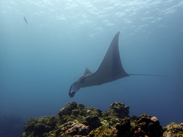 Slow And Steady, Manta Rays☆