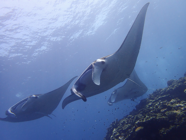 Lots of Manta rays! Amazing Discover Scuba Dives