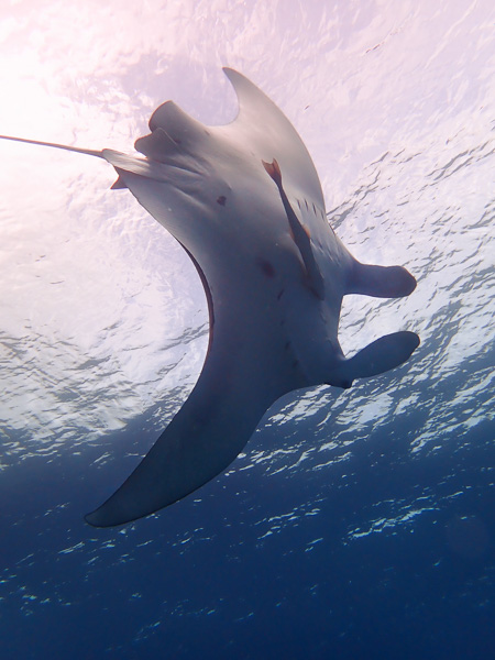 Great Visibility and Manta Rays