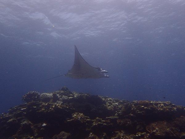 ウミガメにマンタに出会えちゃうダイビング