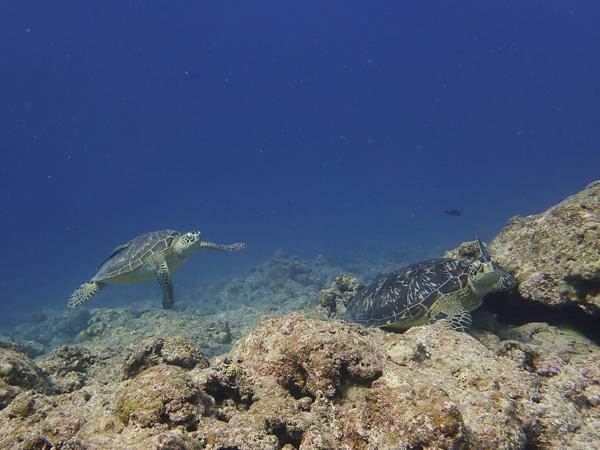 ウミガメの場所取り合戦