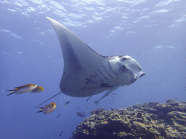 Discover scuba dives with manta rays. In January!
