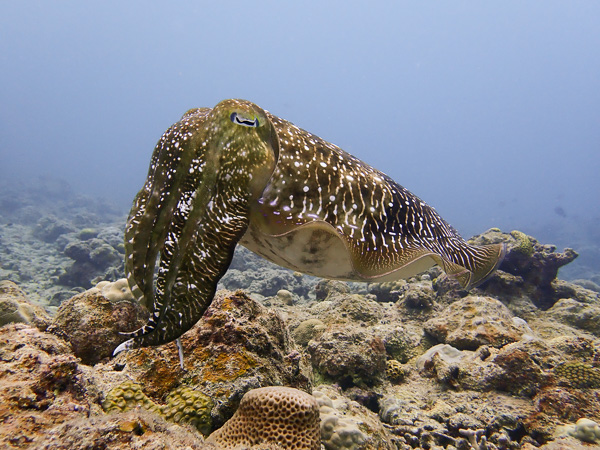 Diving with giant cuttlefishes