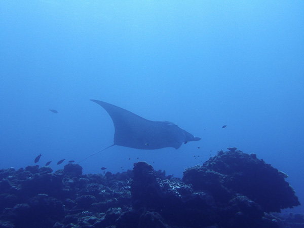 Finally a manta ray