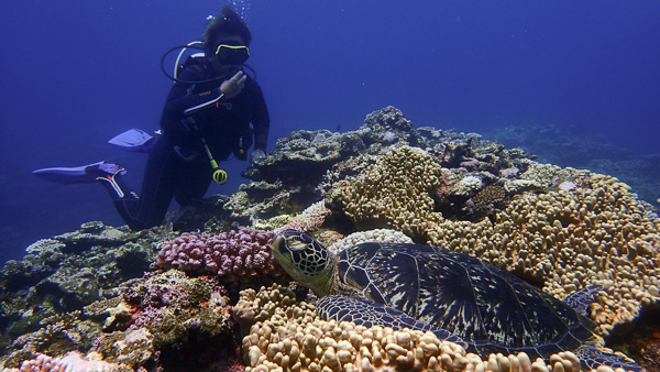 Lots of sea turtles