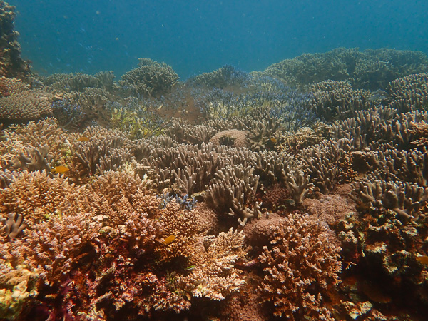 The corals in Osaki are doing well