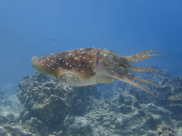 Diving with lots of giant cuttlefish